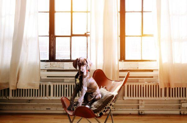 dog, chair, boss