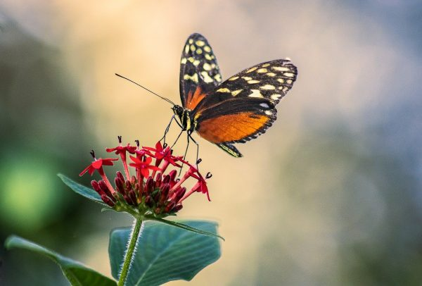 butterfly, insect, wings
