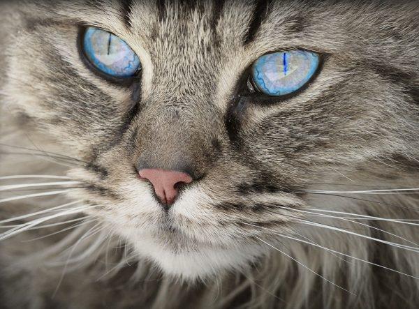 cat, tabby, face