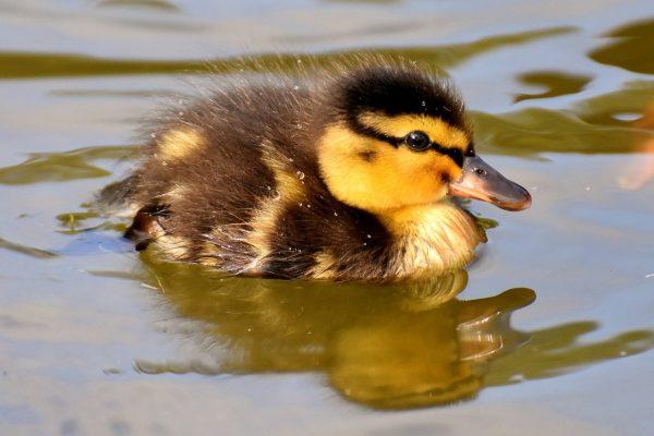 mallard, ducklings, duck