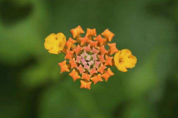 lantana, bud, blossom